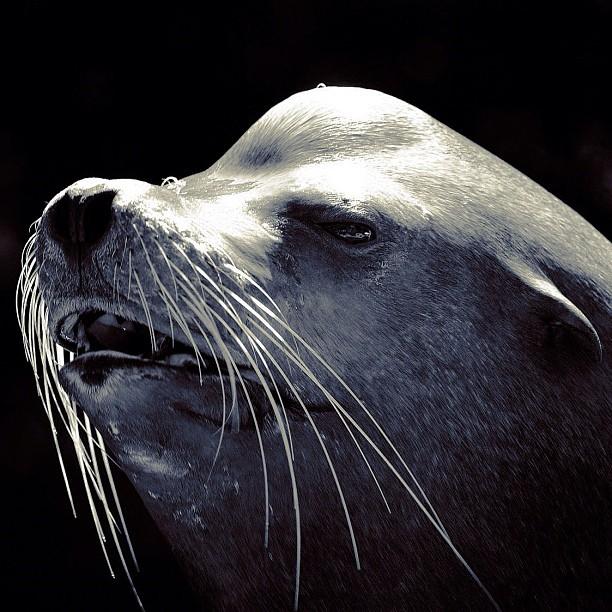 Fur seal / #bw#blackwhite#blackandwhite#monochrome