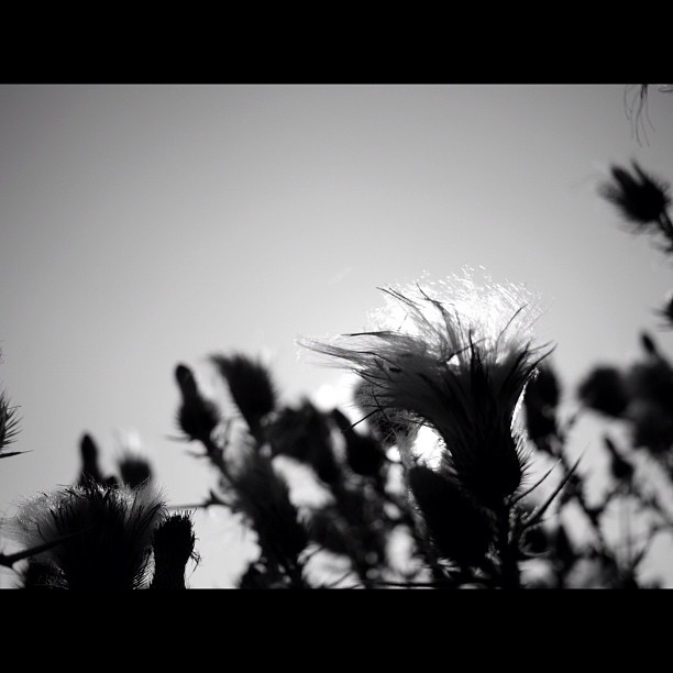 #thistle. #flower #nature #bw #blackandwhite #monocrome