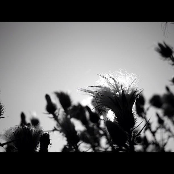 #thistle. #flower #nature #bw #blackandwhite #monocrome