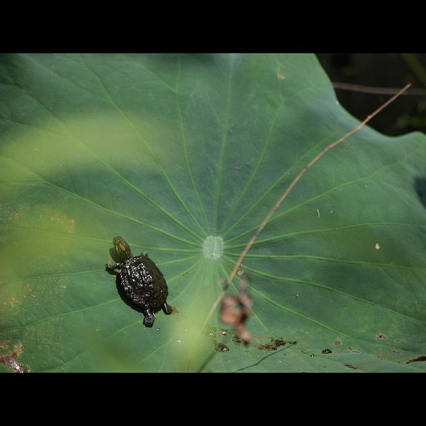 #Turtle on the #leaves of #lotus.