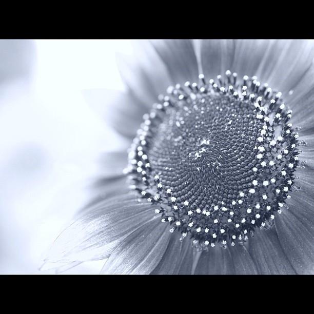#Sunflower. #flower #nature #bw #blackandwhite #monocrome