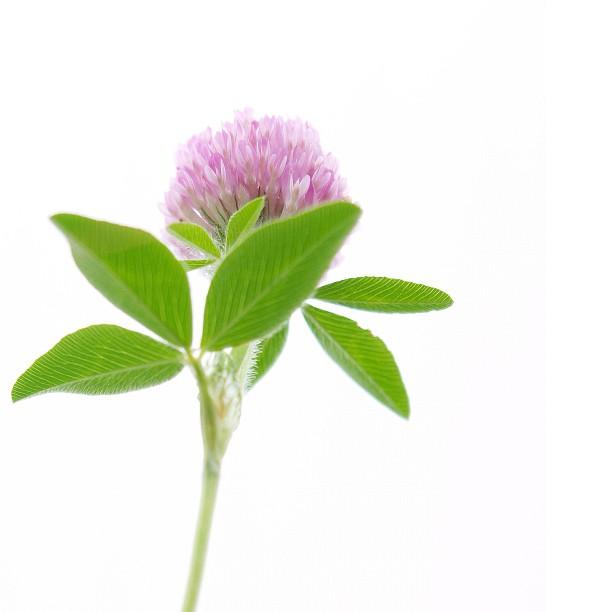 #clover #nature #plant #color