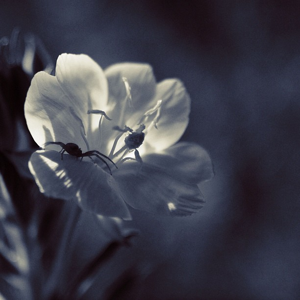 Evening primrose with friends / #bw#blackwhite#blackandwhite#monochrome