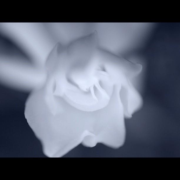 #Gardenia. #flower #nature #bw #blackandwhite #monocrome