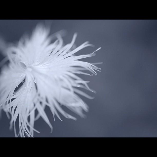 #Pink. #flower #nature #bw #blackandwhite #monocrome