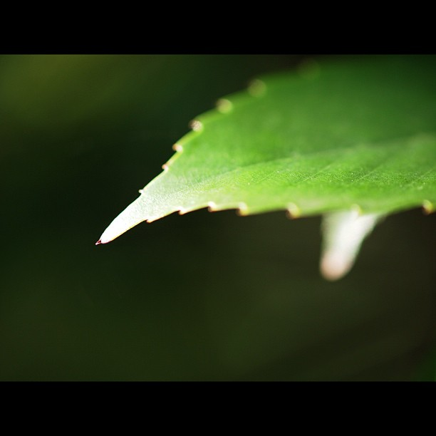 #shiny #leaf. #green #tree #nature
