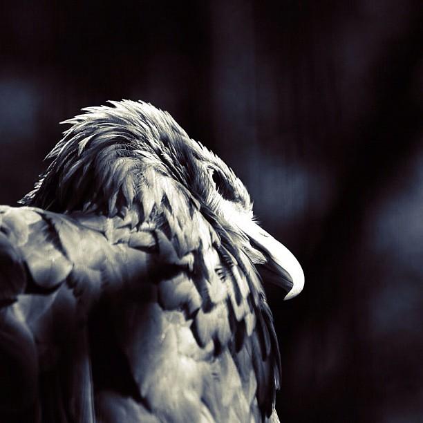 Falcon / #bird #bw#blackwhite#blackandwhite#monochrome