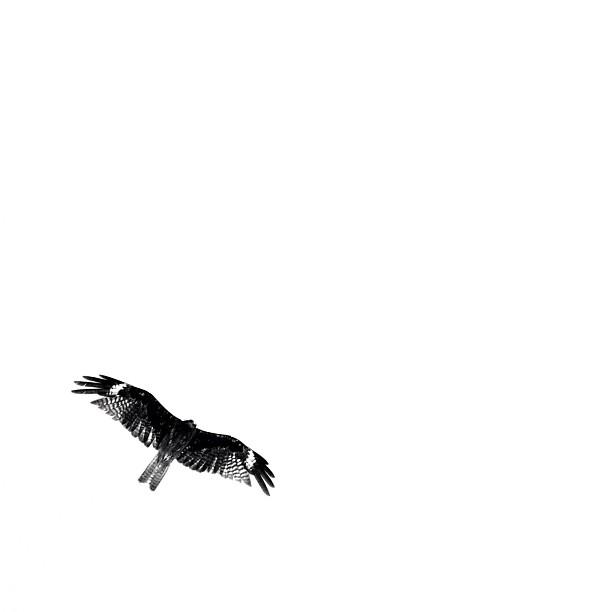 More High! / #bird #kite #bw#blackwhite#blackandwhite#monochrome