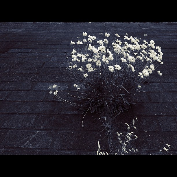#Flowers that #bloom in #concrete. #bw #blackandwhite #monocrome