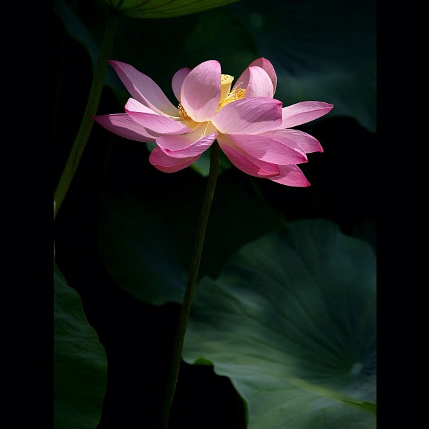 The #lotus.  #flower #nature
