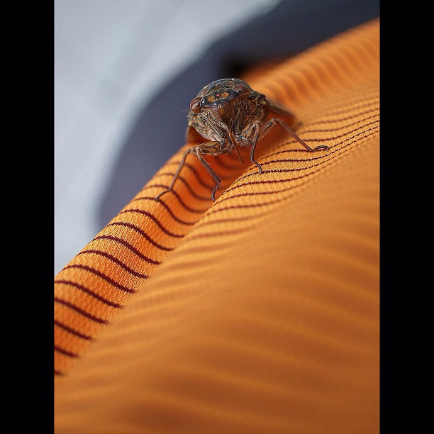 Cicada on orange