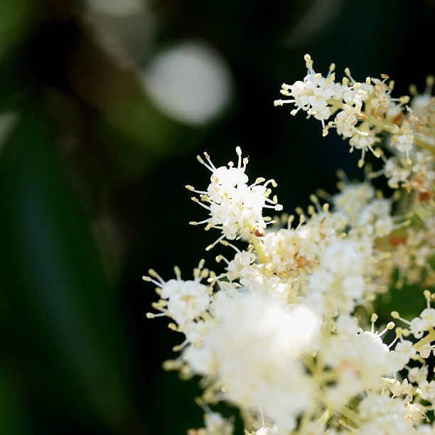 #flower of #tree.  #green #white #nature