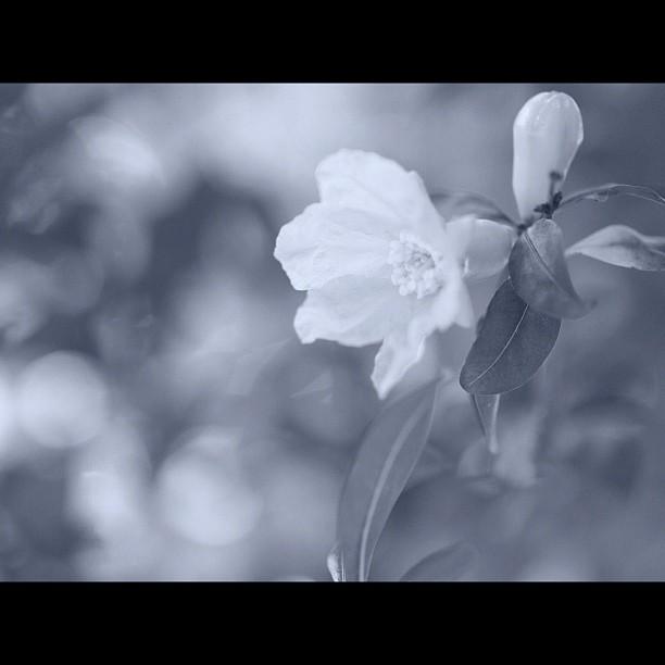 Flower of pomegranate / #flower #tree #bw#blackwhite#blackandwhite#monochrome