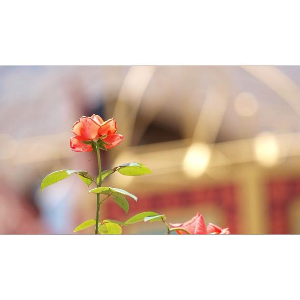 The #Rose.  #flower