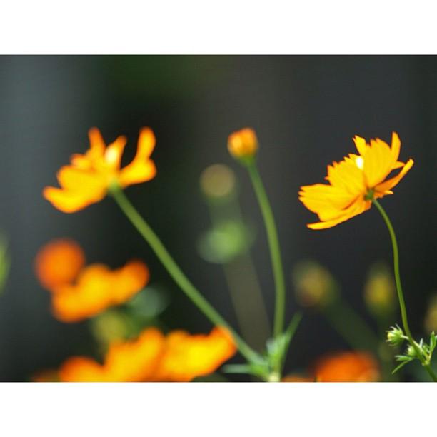 Orange Cosmos / #orange #cosmos