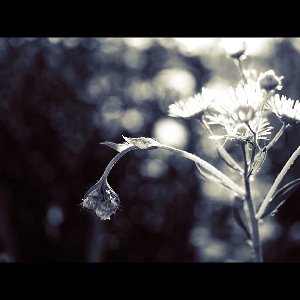 Philadelphia #daisy #flower #bw #blackwhite #monocrome