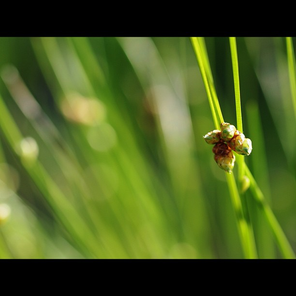 #flower of #grass.  #green #nature