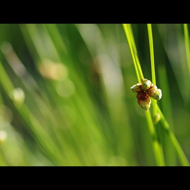 #flower of #grass.  #green #nature