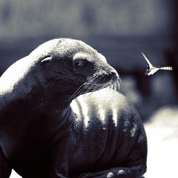 Fur seal & Butterfly / #bw#blackwhite#blackandwhite#monochrome