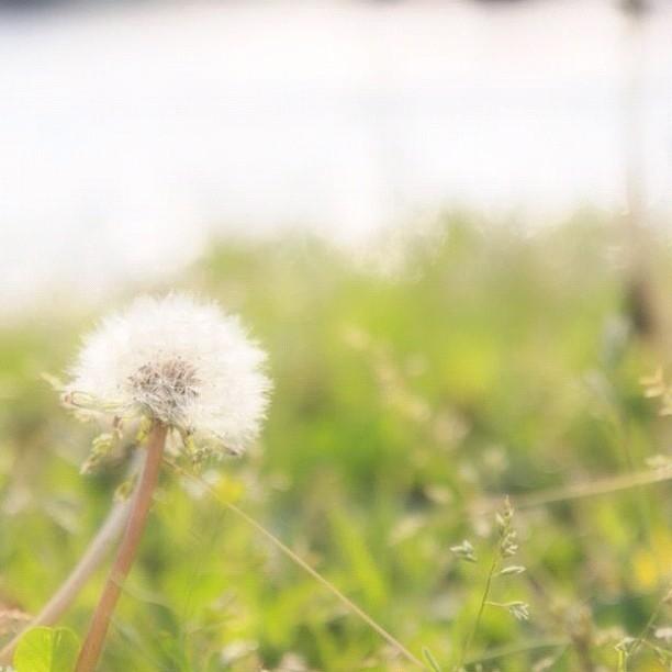 Dandelion fluff #flower #seed