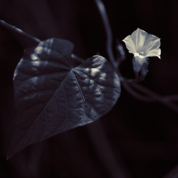 Ipomoea lacunosa L. whitestar