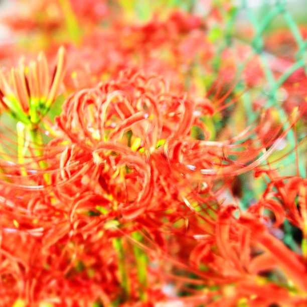 Red spider lily of the night