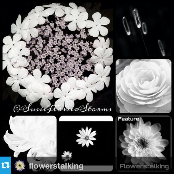FlowerStalking FEATURno need likes and comments, but I want to convey my gratefulness.Most thankful @flowerstalking for this featuring!Great honour! I really appreciate it! Congrats to @susieflowerstorms @noiretblanc_ @fjadervingar @paty_lx !!