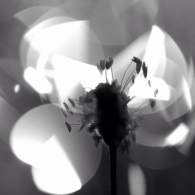 Petals of light