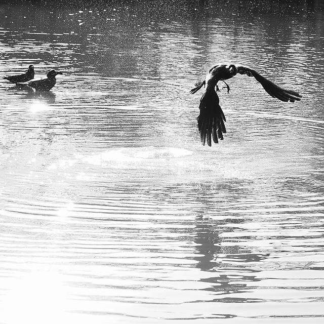 crow crawls