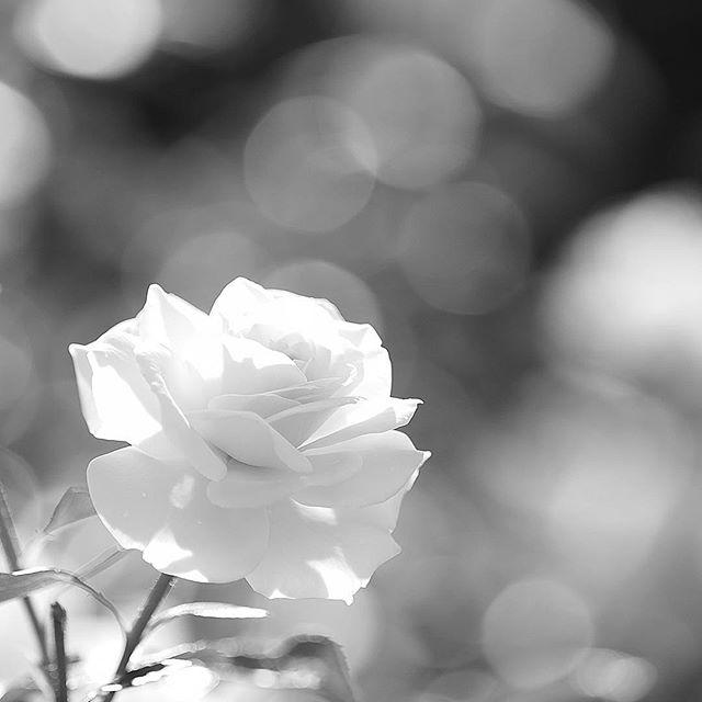 a sweet scent.....#worldcaptures #royalsnappingartists#myighub #Bnw_captures #bnw_fabulous #all_bnwshots #sombrebw #friendsinbnw #Rsa_bnw #Rustlord_unity #bnw_lombardia_member #modefinedbw #insta_pick_bw  #pr0ject_bnw #trb_bnw #tgif_bnw #foto_blackwhite #dof_addicts #great_bnw_nature #bnw_sweden #igs_bnw #Thehub_bnw #fingerprintofgod #naturehippys_ #Nature_brilliance_bnw #GrammerCollective #bwgrammer #bewitched_flowers