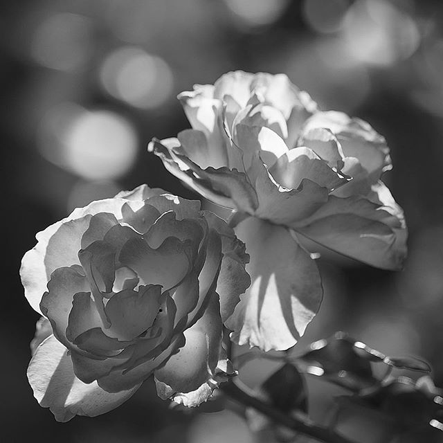 An absolute rose?.....#worldcaptures #royalsnappingartists#myighub #Bnw_captures #bnw_fabulous #all_bnwshots #sombrebw #friendsinbnw #Rsa_bnw #Rustlord_unity #bnw_lombardia_member #modefinedbw #insta_pick_bw  #pr0ject_bnw #trb_bnw #tgif_bnw #foto_blackwhite #dof_addicts #great_bnw_nature #bnw_sweden #igs_bnw #Thehub_bnw #fingerprintofgod #naturehippys_ #Nature_brilliance_bnw #GrammerCollective #bwgrammer #bewitched_flowers