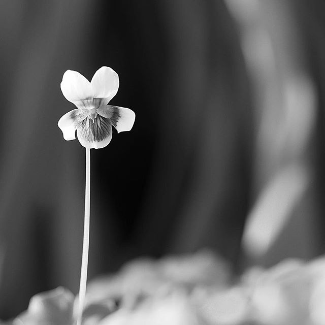 tropical violet.....#worldcaptures #royalsnappingartists#myighub #Bnw_captures #bnw_fabulous #all_bnwshots #sombrebw #friendsinbnw #Rsa_bnw #Rustlord_unity #bnw_lombardia_member #modefinedbw #insta_pick_bw  #pr0ject_bnw #trb_bnw #tgif_bnw #foto_blackwhite #dof_addicts #great_bnw_nature #bnw_sweden #igs_bnw #Thehub_bnw #fingerprintofgod #naturehippys_ #Nature_brilliance_bnw #GrammerCollective #bwgrammer #bewitched_flowers
