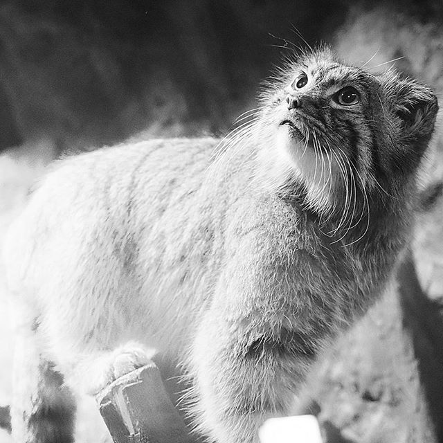 felis manul.....#worldcaptures #royalsnappingartists#myighub #Bnw_captures #bnw_fabulous #all_bnwshots #sombrebw #friendsinbnw #Rsa_bnw #Rustlord_unity #bnw_lombardia_member #modefinedbw #insta_pick_bw  #pr0ject_bnw #trb_bnw #tgif_bnw #foto_blackwhite #dof_addicts #great_bnw_nature #bnw_sweden #igs_bnw #Thehub_bnw #fingerprintofgod #naturehippys_ #Nature_brilliance_bnw #GrammerCollective #bwgrammer #bewitched_flowers