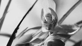 Cymbidium goeringii…..#worldcaptures #royalsnappingartists#myighub #Bnw_captures #bnw_fabulous #all_bnwshots #sombrebw #friendsinbnw #Rsa_bnw #Rustlord_unity #bnw_lombardia_member #modefinedbw #insta_pick_bw  #pr0ject_bnw #trb_bnw #tgif_bnw #foto_blackwhite #dof_addicts #great_bnw_nature #bnw_sweden #igs_bnw #Thehub_bnw #fingerprintofgod #naturehippys_ #Nature_brilliance_bnw #GrammerCollective #bwgrammer #bewitched_flowers