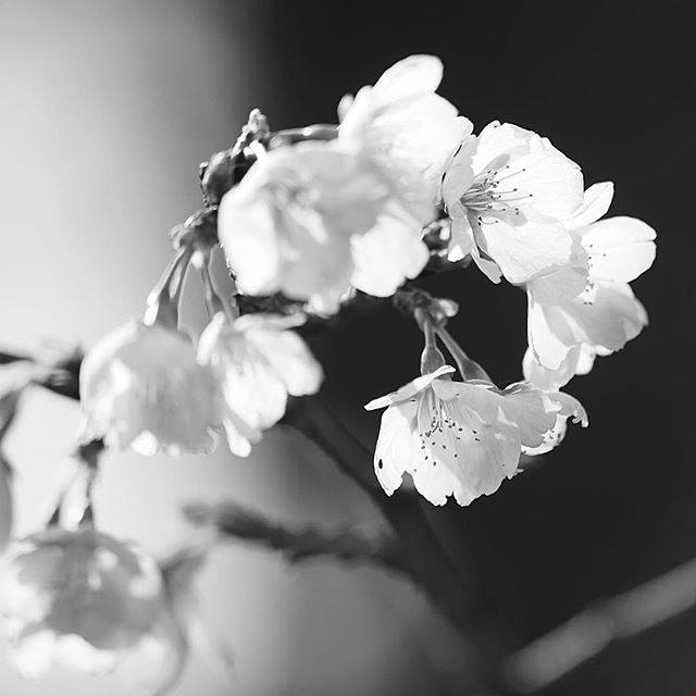 cuando las flores de cerezo florecen.....#worldcaptures #royalsnappingartists#myighub #Bnw_captures #bnw_fabulous #all_bnwshots #sombrebw #friendsinbnw #Rsa_bnw #Rustlord_unity #bnw_lombardia_member #modefinedbw #insta_pick_bw  #pr0ject_bnw #trb_bnw #tgif_bnw #foto_blackwhite #dof_addicts #great_bnw_nature #bnw_sweden #igs_bnw #Thehub_bnw #fingerprintofgod #naturehippys_ #Nature_brilliance_bnw #GrammerCollective #bwgrammer #bewitched_flowers