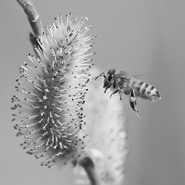 bee at lunch.....#worldcaptures #royalsnappingartists#myighub #Bnw_captures #bnw_fabulous #all_bnwshots #sombrebw #friendsinbnw #Rsa_bnw #Rustlord_unity #bnw_lombardia_member #modefinedbw #insta_pick_bw  #pr0ject_bnw #trb_bnw #tgif_bnw #foto_blackwhite #dof_addicts #great_bnw_nature #bnw_sweden #igs_bnw #Thehub_bnw #fingerprintofgod #naturehippys_ #Nature_brilliance_bnw #GrammerCollective #bwgrammer #bewitched_flowers