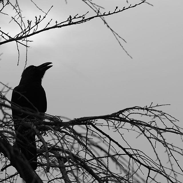 Черный ворон, весь я твой!